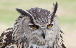 Giant European Eagle Owl Face. by Rabid-Coot