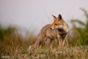 Fox on the watch by RoieG