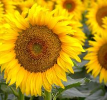 Sunflowers II by Jenvanw