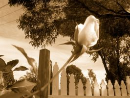 Rose- Sepia by Missy-Babby