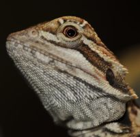 baby bearded dragon by Librianknight