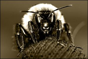 Bumble Bee Close-up by UffdaGreg