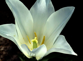 White Tulip by pallsee
