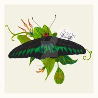 Rajah Brooke's Birdwing (Trogonoptera Brookiana) by Cyrenization