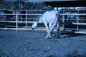 gray horse stock 11 by xbr0kendevotion