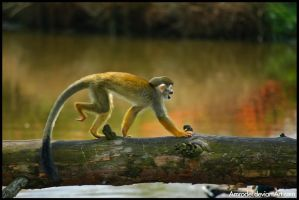 Squirrel Monkey by amrodel