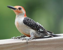 Red Bellied Woodpecker 2 by SalemCat