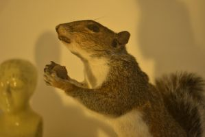 Standing Squirrel taxidermy by adntaxidermy