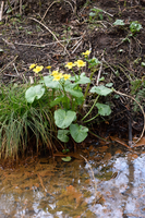 DSC 0057 Marsh Marigold 1 by wintersmagicstock