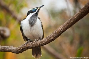 Blue-Faced Honeyeater by amrodel