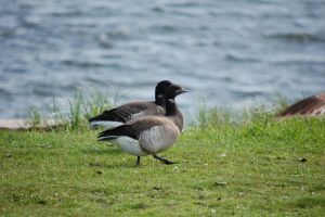 Atlantic Brant by theonlysong