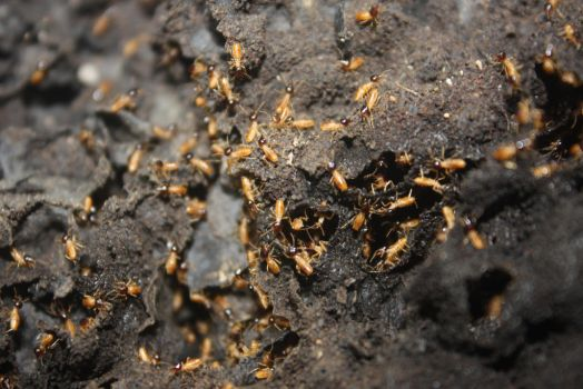 Termites by Spinky1