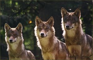 3 european wolves by WhiteSpiritWolf