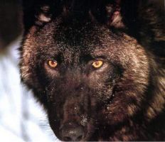 a black wolf by alspc