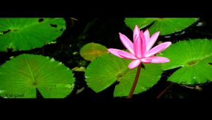 lotus flower by maisondezion