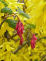 Ribes in yellow by JanuaryGuest
