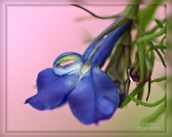 Droplet on Lobelia flower by AnnaKirsten