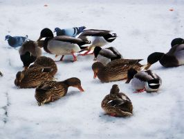 Duck Group II by leeri