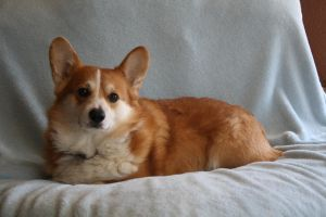 Pembroke Welsh Corgi Stock 4 by JArcher-Stock