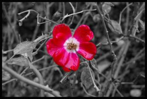 Pink Flower B.W by Wickedly-Witchy