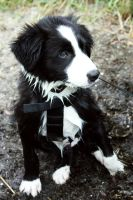 Jamie the border collie by Takadk