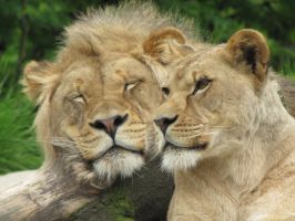 Lion couple by Fairygirl1031