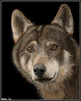 Wolf portrait by BikerScout