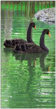 Black Swans by TigerMoods