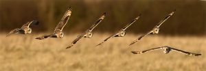 Short-eared owl sequence by Jamie-MacArthur