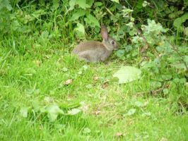 Wild Rabbit by GRANNYSATTICSTOCK