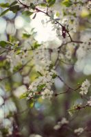 cherry tree by GoodFred