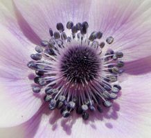 Anemone coronaria center by duggiehoo