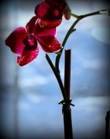 Orchid 1 by mrthemanphoto