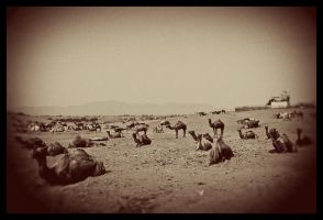 Camels, camels everywhere by abhimanyughoshal