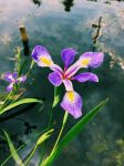 Flower on the Pond by MarconotPolo