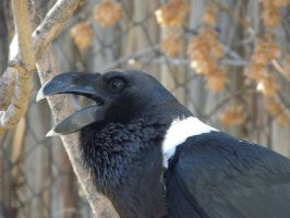 White-necked Raven by Canislupuscorax