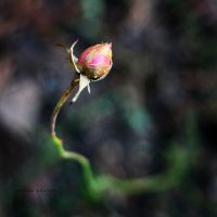 The Broken Rose by Healzo
