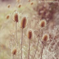 .:November Thistle:. by bogdanici