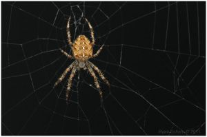 Garden Spider by Ryser915