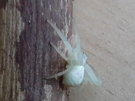 Albino Spider!? by sgraven66