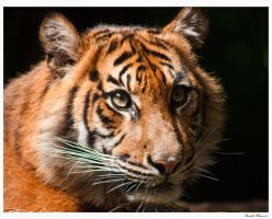 Tiger Cub Again by DanielleMiner