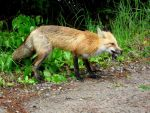 A Fox in the Forest by FallingClockwise