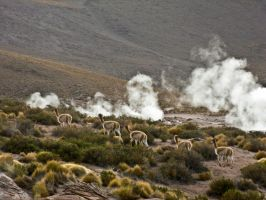 Vicunas in Chile by featherwhitey