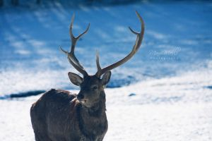 Winter Light and Sika Deer by MelissaBalkenohl