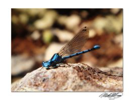 Little Dragonfly by DistantVisions