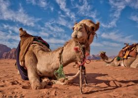 My friend the camel by forgottenson1