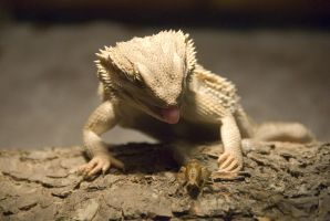Bearded Dragon 2 by DoktorVivi
