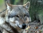 Europaeischer Grauwolf (Canis lupus lupus) 13 by bluesgrass