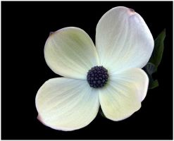 DOGWOOD BLOSSOM by THOM-B-FOTO