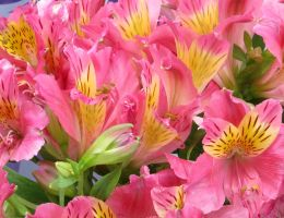 Peruvian Lilies for a Princess by Kitteh-Pawz